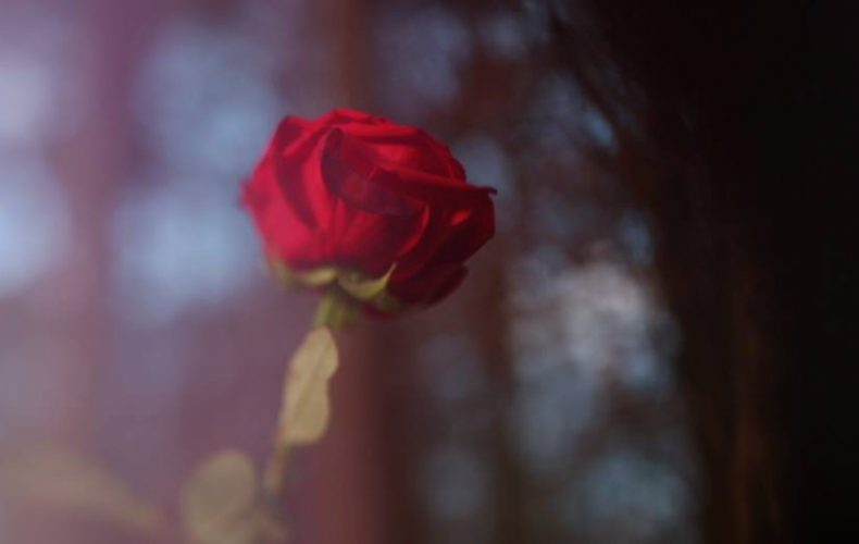 A red rose in a woodland