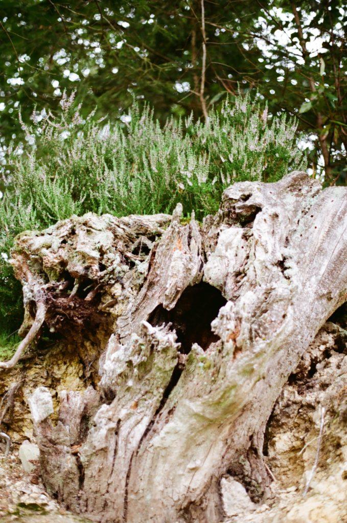 Tree stump and heather